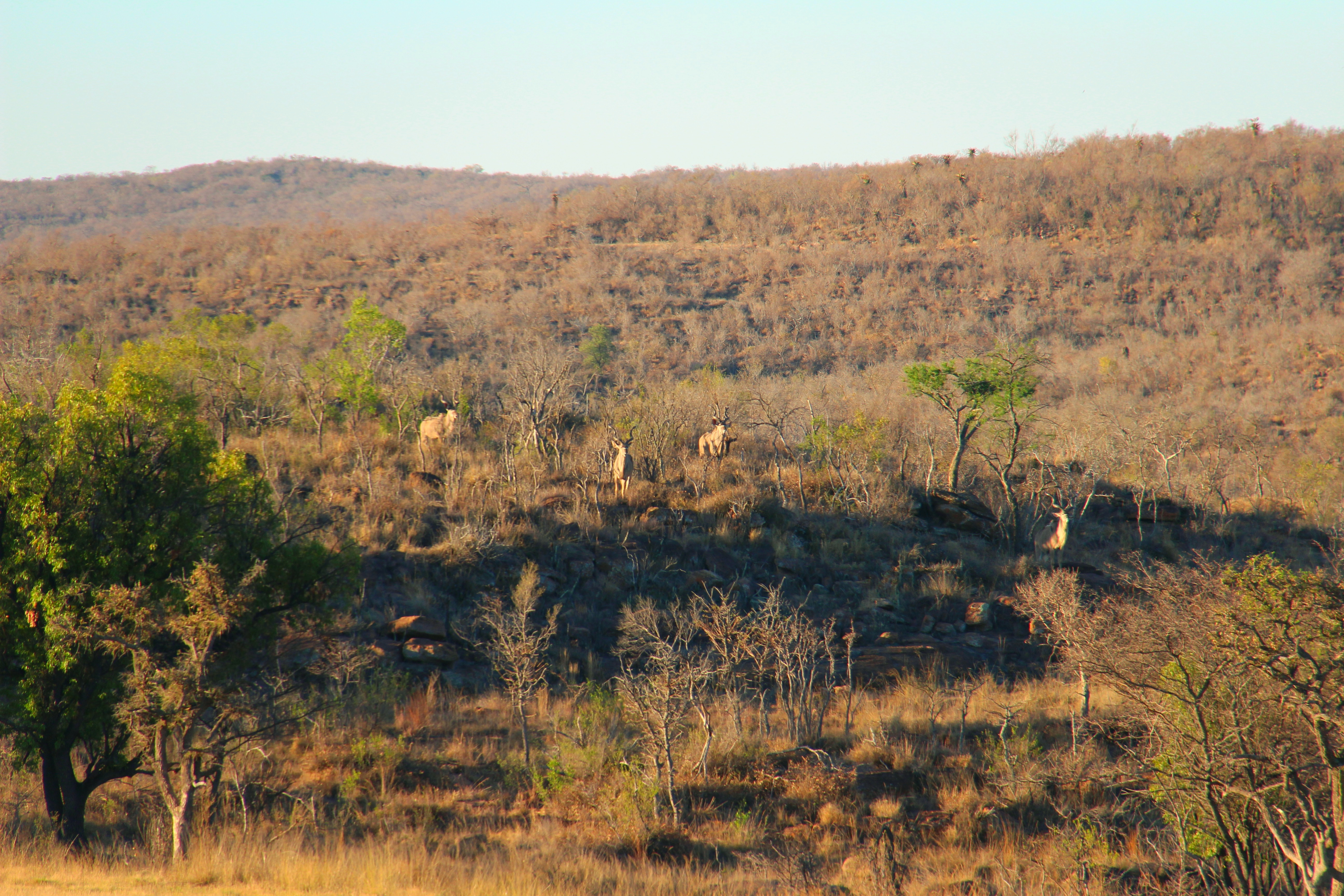 Trophy kudu bulls grazing on a hill in the distance.