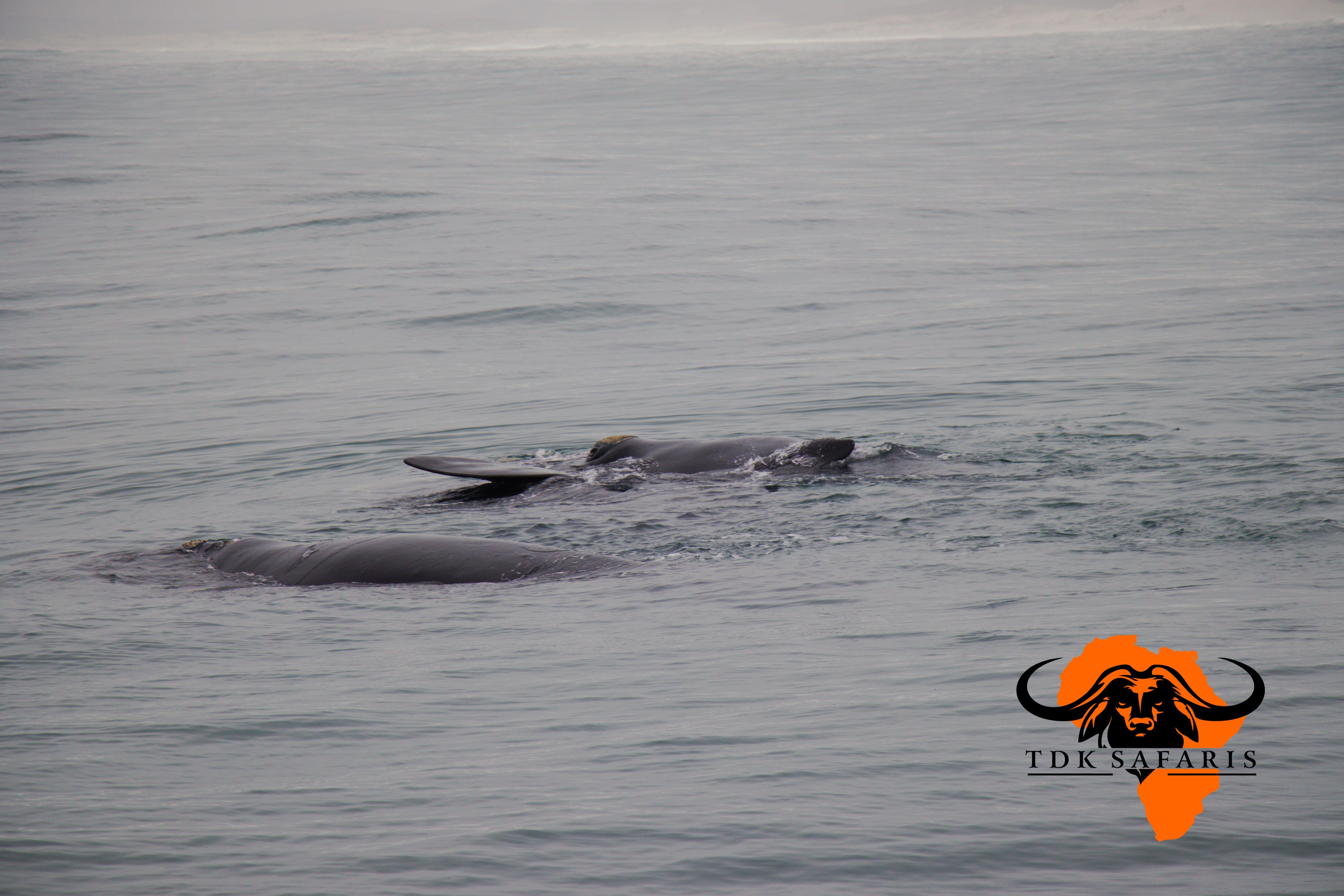 Whales along the Cape Coast